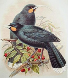 One of the most remarkable things about the Huia was the sexual dimorphism of its bill: males (front) had short, straight bills, while females (rear) had very long, decurved bills.  Painting by Walter Buller, 1888 (public domain).