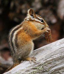 Least Chipmunk photo