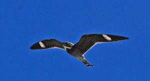Common Nighthawk, Rio Arriba County, New Mexico, 6/10/2008. Photo by Jerry Oldenettel (Creative Commons 2.0).
