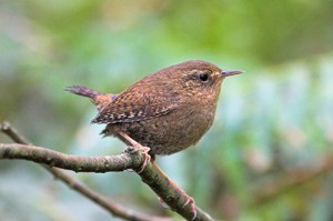 Pacific Wren, Seattle, Washington. Photo by Tom Talbott (Creative Commons license 2.0).