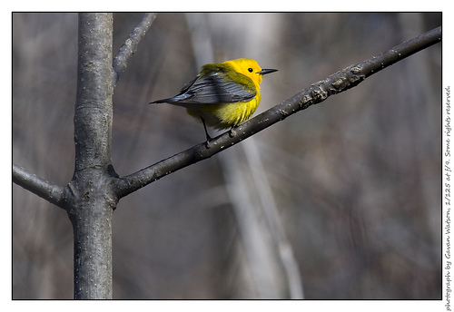 Prothonotary Warbler, Chatham-Kent, Ontario, 5/4/2008.  Photo by Gavan Watson (Creative Commons 2.0).