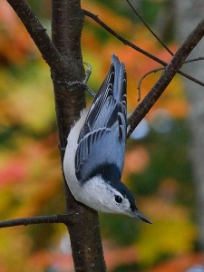 Eastern White-breasted Nuthatch, 30 September 2008. Photo by Gary Irwin (Creative Commons 2.0).