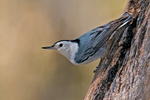 """Rocky Mountain"" White-breasted Nuthatch, Madera Canyon, AZ."