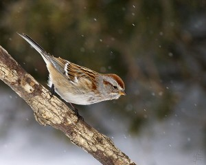 American Tree Sparrow, 2/11/2007.  Photo by Eric Begin (Creative Commons 2.0).