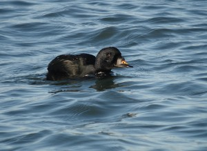 Common Scoter (European form), Brouwersdam, Netherlands, 11/15/2007. Photo by Pieter van Veelen. Used by permission.