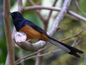 White-rumped Shama, University of Hawai'i at Manoa. Photo by K.W. Bridges.