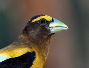 Evening Grosbeak, Soda Springs, CA, 8/3/2009. Photo by C.V. Vick (Creative Commons 2.0).