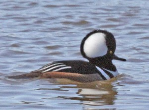 Hooded Merganser, Norman, OK, 10/1/08.  Photo by Jerry Oldenettel (Creative Commons 2.0).