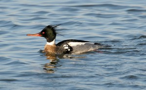 Red-breasted Merganser, Keyport, New Jersey, January 2009.  Photo by Harmonica Pete (Creative Commons 2.0).