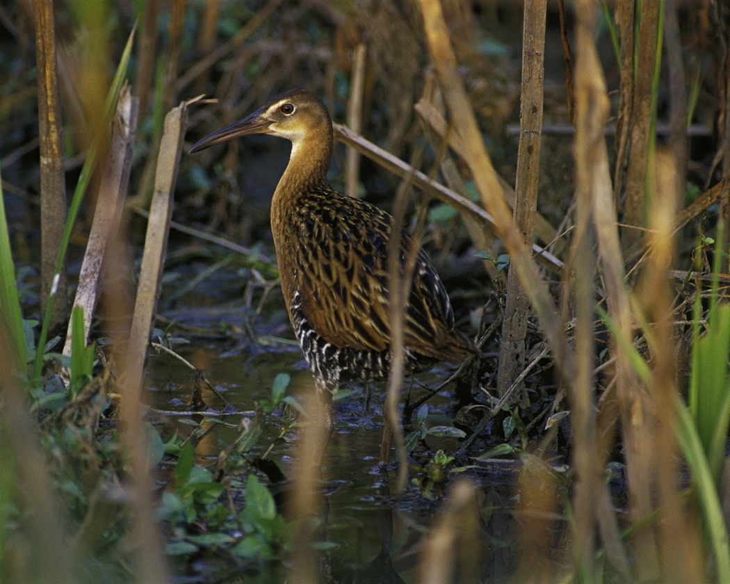 King and Clapper Rails – Earbirding