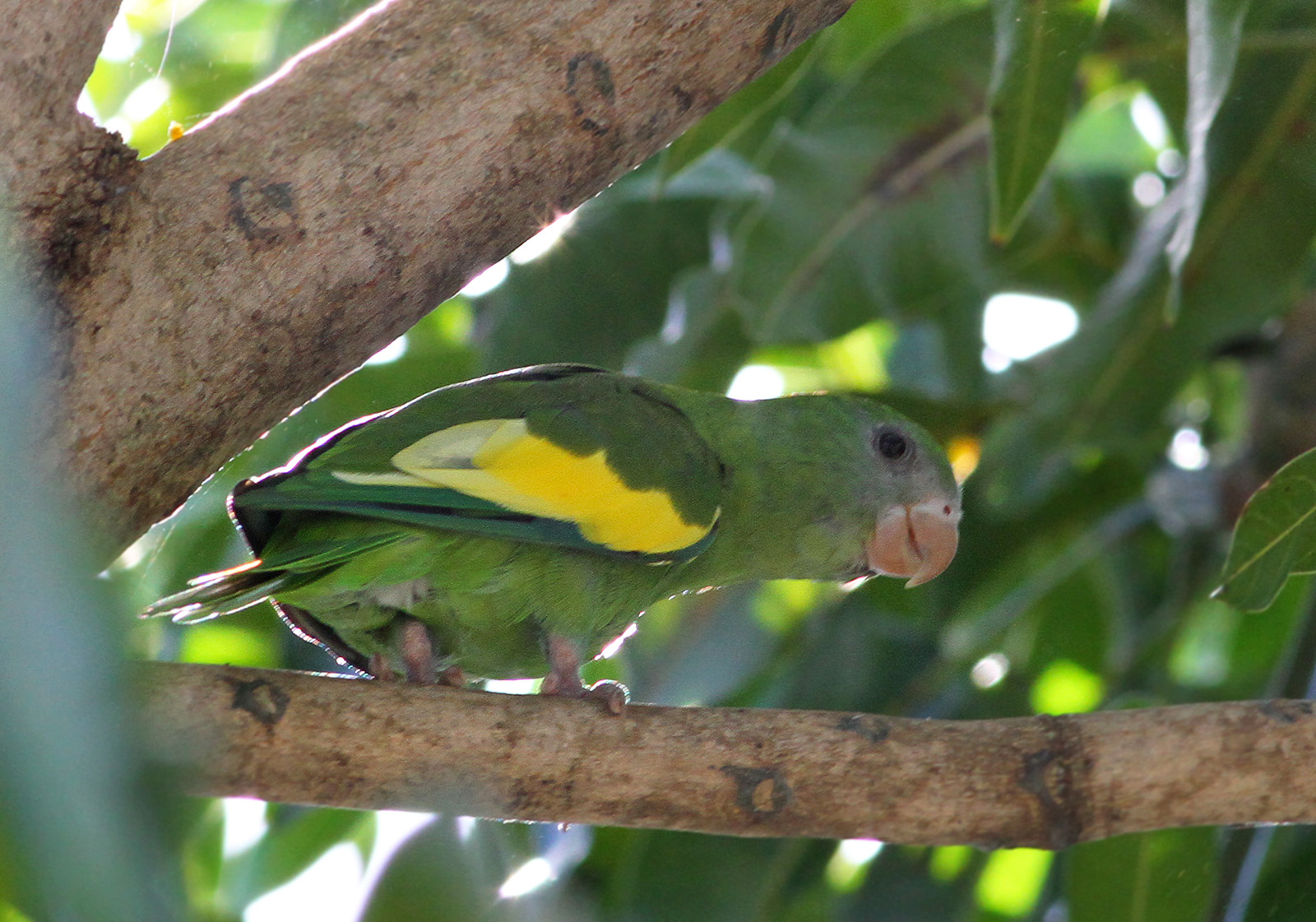 American Parakeets: Changing Tunes? – Earbirding