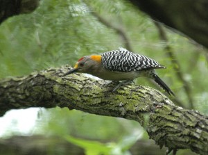 Golden-fronted Woodpecker, McAllen, Texas, April 2004. Photo courtesy of Bill Schmoker.