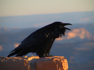 Common Raven, Bryce Canyon National Park, Utah. Photo by National Park Service (public domain).