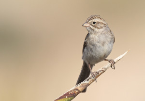 Brewer's Sparrow - Luke Seitz