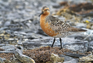 Red Knot2013-5-25-1_m