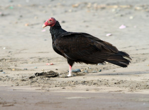 Turkey Vulture2014-2-1_m
