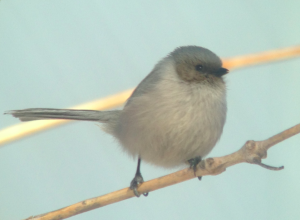 The male Bushtit apparently singing, Boulder County, CO, 3/6/2015. Photo by Ted Floyd