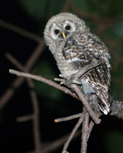Juvenile Cinereous Owl, Rancho La Noria, Nayarit, Mexico, 4 June 2015. Photo by Andrew Spencer