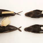 Ventral view of male Black Swifts, from British Columbia (niger, at left) and Costa Rica (costaricensis, at right).