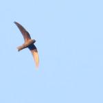 Black Swift, Parque Natural Mexiquillo, 6/4/2015. Copyright Andrew Spencer