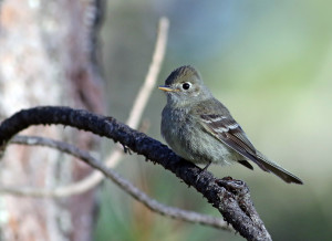 Pine Flycatcher - Durango, Mexico.  Copyright Andrew Spencer.